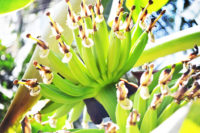 Vasai-Virar famous banana tree