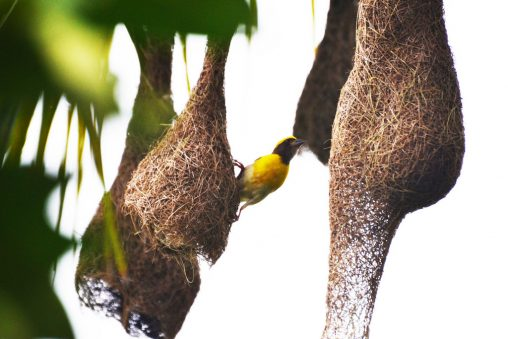 Baya Weaver - सुगरण, Photography done in Vasai-Virar